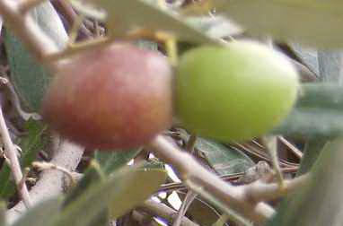 green and purple olives